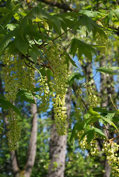 Flowering Chain