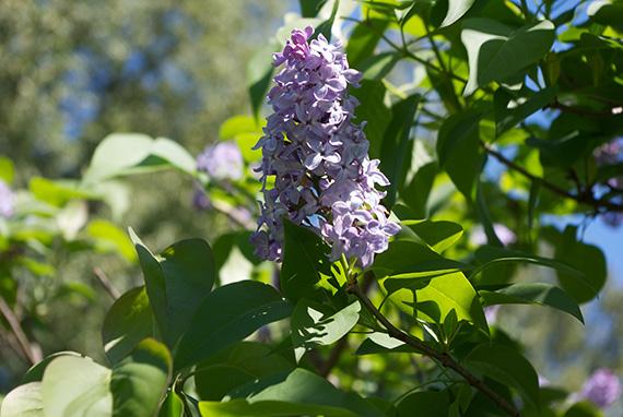 Lilac close