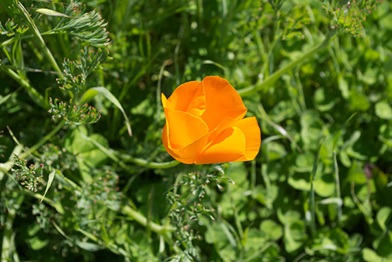 Poppy in the wind