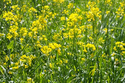 Yellow weeds