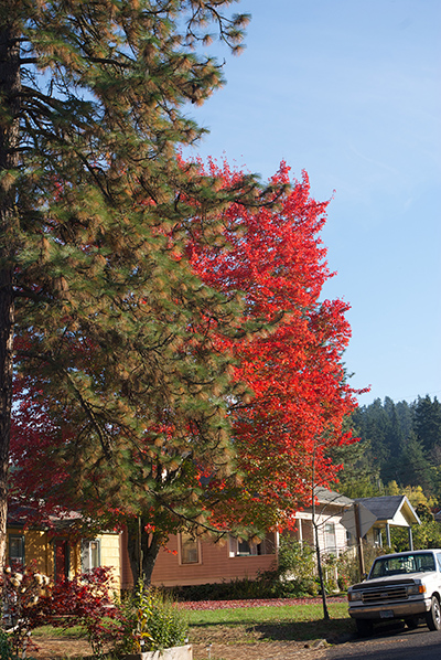 red and pine