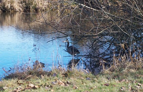 hiding heron